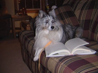 Bonnie, a therapy and reading Shetland Sheepdog